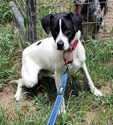 Albany Ny Rat Terrier Meet River A Dog For Adoption Kitten Adoption Pets Adoption