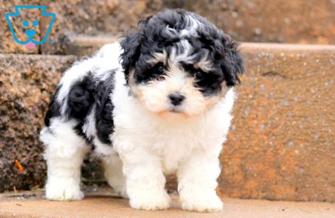 Paris Teddy Bear Puppies Puppies For Sale Cute Baby Puppies