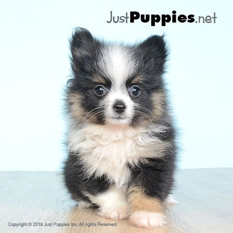 Puppies For Sale Orlando Fl Available Puppies With Images Puppies Puppies For Sale Yorkie