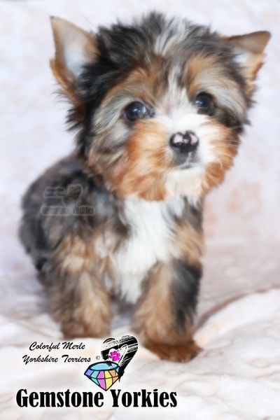 Pin On Gem Yorkies Ca