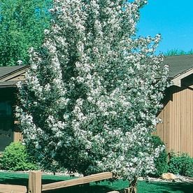 8 99 Gallon White Sugar Tyme Crabapple Flowering Tree In Pot
