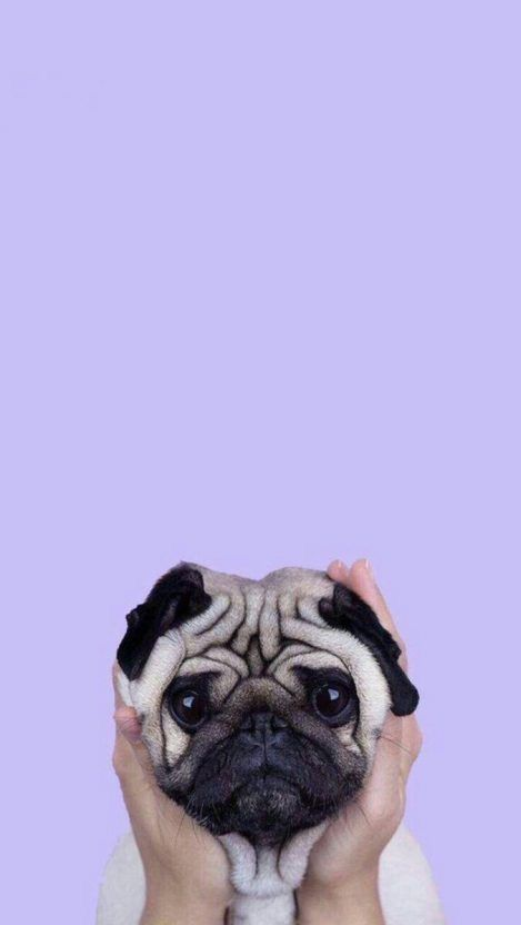 My June Cute Dog Wallpaper Dog Wallpaper Iphone Pug
