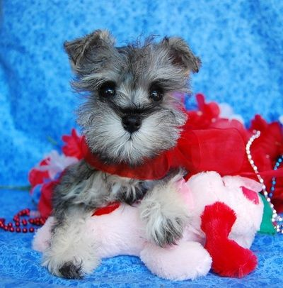 Miniature Toy Teacup Schnauzers For Sale Toy Teacup Miniature Schnauzer Puppies Miniature Schnauzer Miniature Schnauzer Puppies Schnauzer Puppy