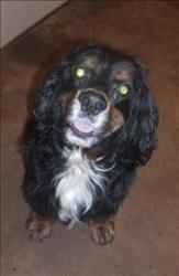 Dakota Is An Adoptable Cocker Spaniel Dog In Lexington Ky Hi My