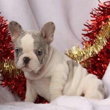 French Bulldog Puppy For Sale Near Gap Pennsylvania Usa Gender