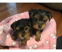 Purebred Yorkshire Terrier Puppie S Cuteteacuppuppies Gorgeous