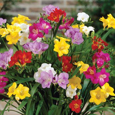 Freesia Mix 75 Mixed Flower Bulbs Freesia Flowers Bulb Flowers Plants