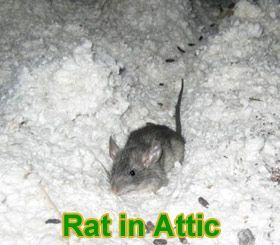 How To Deal With Rats In Your Attic Home Rodents Mice Walkinatticstorage Attic Staircase Attic Rooms Attic Loft