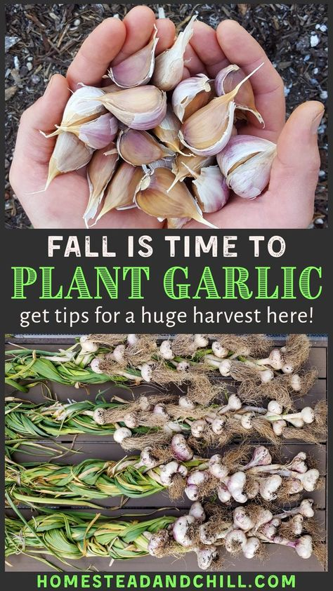 Backyard Vegetable Gardens, Veg Garden, Lawn And Garden, Garden Plants, Growing Veggies, Growing Herbs, Permaculture, How To Plant Garlic, Planting Garlic In Fall