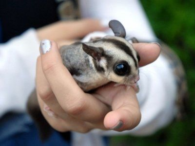 7 Easy Pets To Take Care Of In A Dorm Room In 2020 Sugar Glider Pets Easy Pets