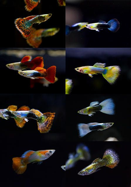Source Endler Guppy Fish Guppy Fish For Sale On M Alibaba Com In 2020 Guppy Fish Guppy Fish For Sale