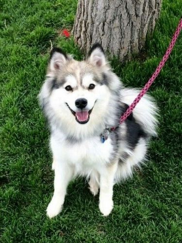 Do U Lnow What A Finnish Lapphund Is Any Pics Here You Go