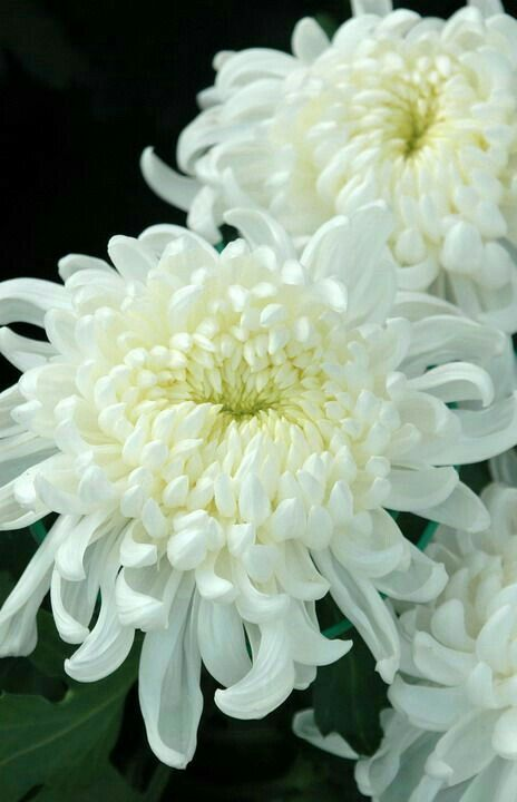 White Chrysanthemums They Remind Me Of Funerals But Still One Of My Favorite Flowers White Chrysanthemum Chrysanthemum Pretty Flowers