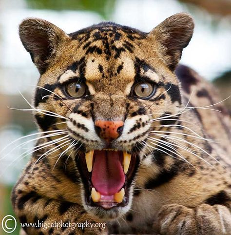 https://i.pinimg.com/474x/e9/36/ee/e936eea5e02553089b5fa54cf784757b--big-teeth-clouded-leopard.jpg
