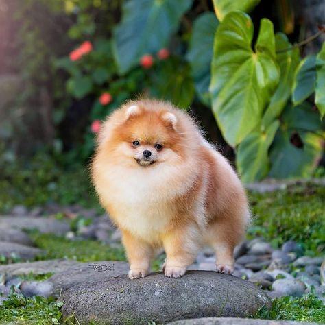 Pomeranian from @ joehauzekennel  #puppy❤️ #puppypower #puppy🐶 #puppyplaytime