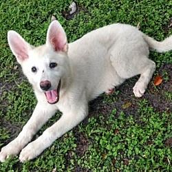 Pet Card German Shepherd Dogs Kitten Adoption Pets