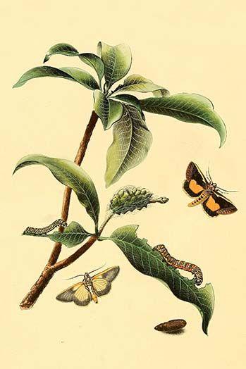 Surinam Butterflies Moths Caterpillars By Jan Sepp 00 Art Print Moth Caterpillar Graphic Art Art