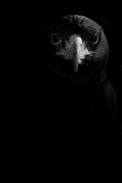 صور خلفيات سوداء Hd عالية الجودة بفبوف Black Bird Shades Of Black Black And White