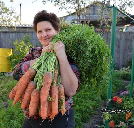 когда собирают морковь с огорода