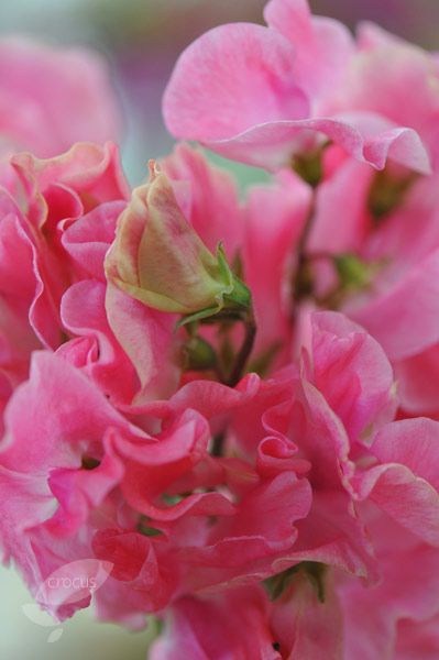 Sweet Pea Lathyrus Odoratus Beaujolais Graines de fleurs de l/'Ukraine