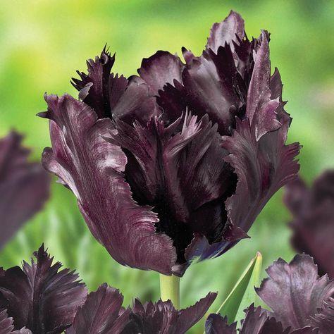 Fiori Neri.Breck S Black Parrot Tulip Bulbs 5 Pack Fiori Neri Fiori Natura