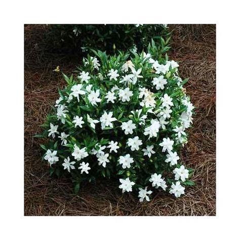 Amazon Com Frost Proof Gardenia Plants Cape Jasmine 1