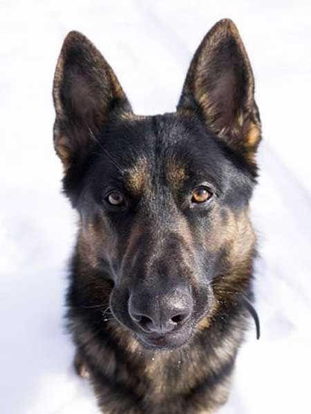 Awesome Head Shot Of German Shepherd Dog Beautytipsforblondes
