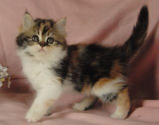Minuet Napoleon Munchkin Cats Kittens Indiana Munchkin Cat Cat Website Kittens