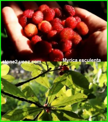قائمة انواع شجرة الشمع او شمعية Myrica قائمة الفواكهة النبات معلومات نباتية وسمكية معلوماتية Raspberry Fruit Strawberry