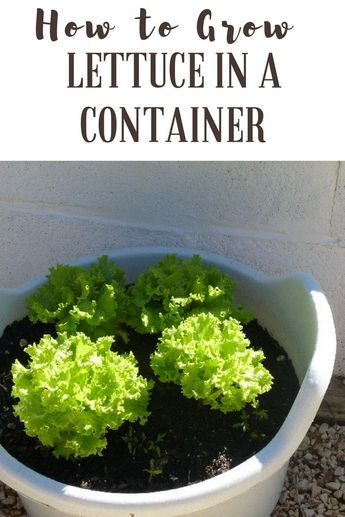 How to Grow Lettuce in a Container - STOP throwing the stems of your lettuce away - here s how you can use them to plant more at home How to Grow Lettuce Urban Gardening Indoor Garden Container Gardening Vegetables Frugal Homesteading #