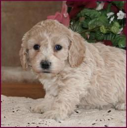 Bichon Poodle Puppies For Sale Poochon Dog Breeders Iowa With Images Poodle Puppy Poodle Puppies For Sale Dog Breeder