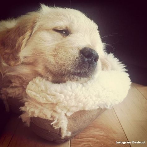 #LLBean slippers also make comfy puppy pillows. #LLBeanPets