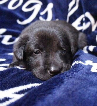 Litter Of 10 Chow Chow Labrador Retriever Mix Puppies For Sale In