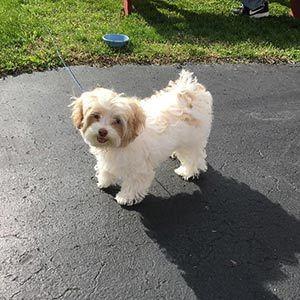 Miniature Schnauzer Puppies For Sale Puppyspot Puppies For Sale Poodle Puppies For Sale Puppies