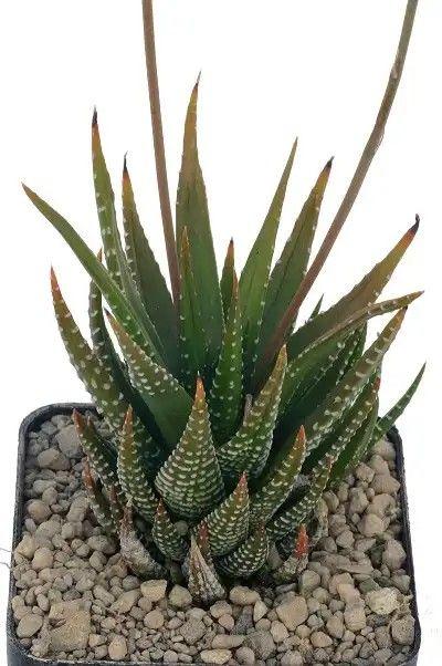 Haworthia Fasciata Cactus Plants Succulents Plants