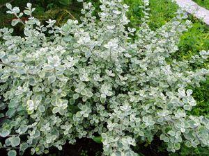 Ogrodnictwo Kwiaty Balkonowe Najpiekniejsze Kwiaty Balkonowe Slupsk Siemianice Helichrysum Flowers
