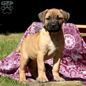 Cane Corso Puppies For Sale Cane Corso Dog Breed Info Greenfield Puppies In 2020 Cane Corso Puppies Corso Dog Cane Corso