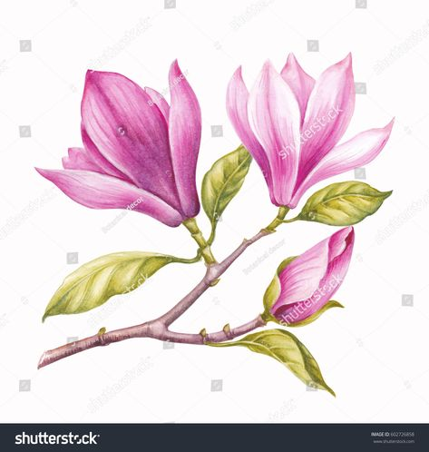 Watercolor Painting Magnolia blossom flower . Wreath of flowers in watercolor style with white background. Spring flowers.
