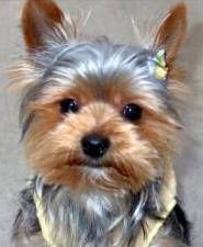 Yorkshire Terrier How Can You Resist These Little Mugs