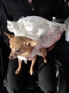 White Flowered Dog Harness Dress Palm Springs Fashion Beautiful