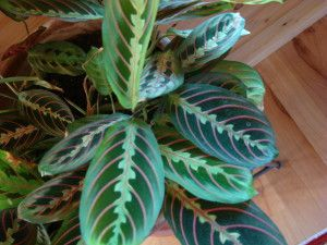 Curling Leaves On Prayer Plant Plants Propagating Plants Prayer Plant