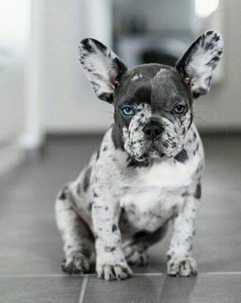 pups Getting one someday. A all blue or a blue Merle :-) I'm in love this lil cute frenchbulldog bulldog puppy.