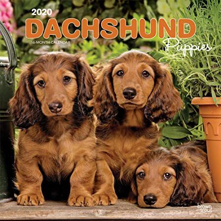 Epub Dachshund Puppies 2020 12 X 12 Inch Monthly Square Wall