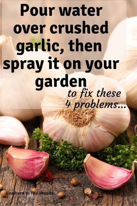 Garlic water for the garden...