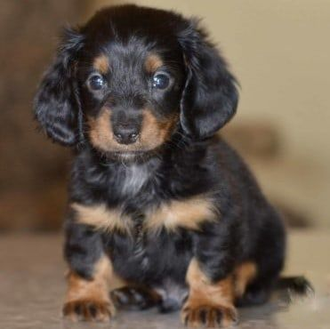 Black Tan Black Tan Tucker Puppies Dachshund Puppies For