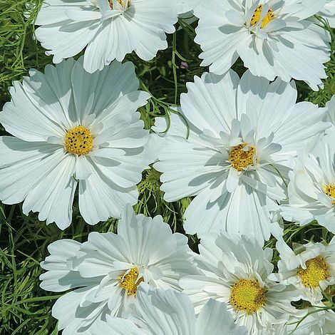Cosmos Bipinnatus Psyche White Seeds Thompson Morgan In 2020 Growing Seeds Cosmos Plant Buy Seeds