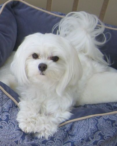 Bebe At 5 Years Old Maltese Dogs Maltese Puppy Teacup Puppies