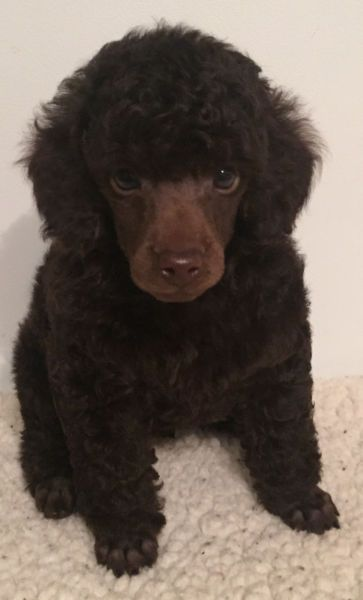 Ckc Reg D Brown Male Miniature Poodle Puppy Dogs Puppies For