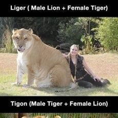 Picture Memes Fby7qeen6 By Lonely Popcornsadness 2 7k Comments Ifunny Animals Male Lion Cute Animals