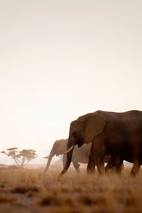 A third of Kenya's African elephants live in the Tsavo region of southern Kenya, home to two national parks roamed by animals like elephants, buffaloes, leopard, hippos and lion // photo by Philip Lee Harvey #elephant #kenya #africa #safari